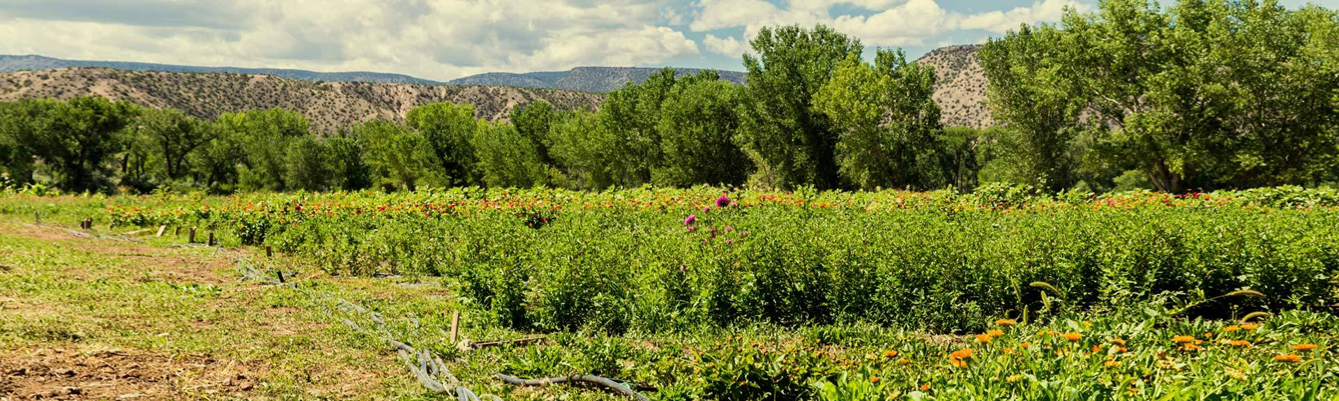 Abiquiu farms, a biodynamic certified organic farm in northern New Mexico, grows fresh plants for us 2 hours from our facility.